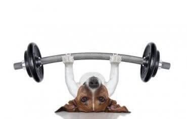 En hund som løfter vekter