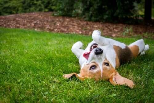 Hvorfor elsker hunder å rulle seg rundt i gresset?