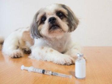 Insulin for hunder med diabetes