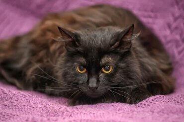 En katts pels går i ett med teppet