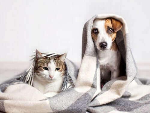 Katteraser som oppfører seg som hunder