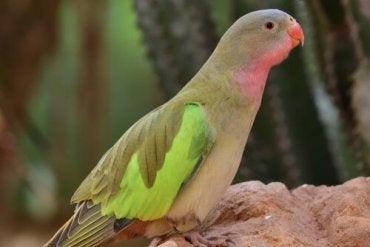 Dronning Alexandra papegøye
