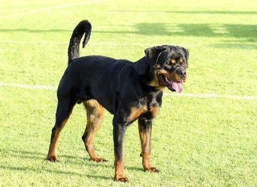 Bestemmer rasen hundens aggresjon?