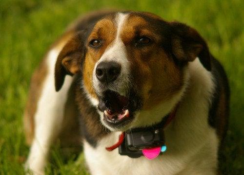 En brun og hvit hund som bjeffer.
