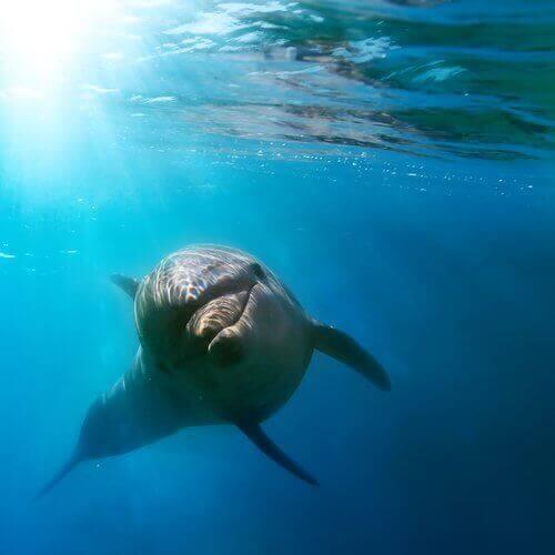 En delfin som svømmer i havet.