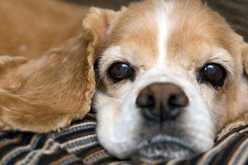 En hund med en tørr nese.