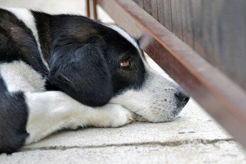 En hund som ligger på bakken.