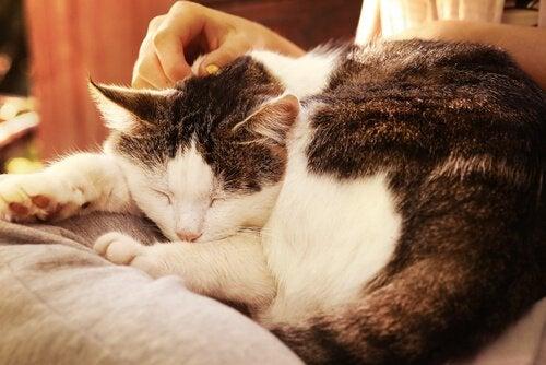 En katt som sover og blir klappet av eieren.