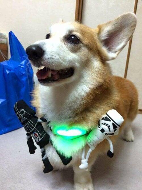 En liten hund som prøver et inupatisk halsbånd.