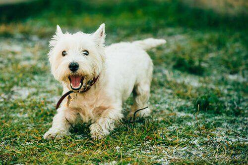 En yorkshire terrier sporer mat, en måte å trene hunden din på.