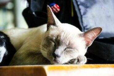 8 av fordelene ved å adoptere en eldre katt