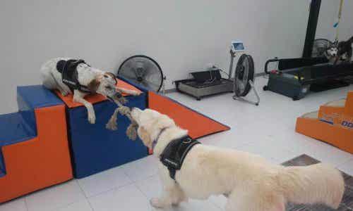 Body Dog: Lær om det første treningsstudioet for hunder