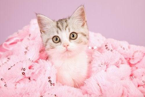 En katt som sitter på et rosa pledd