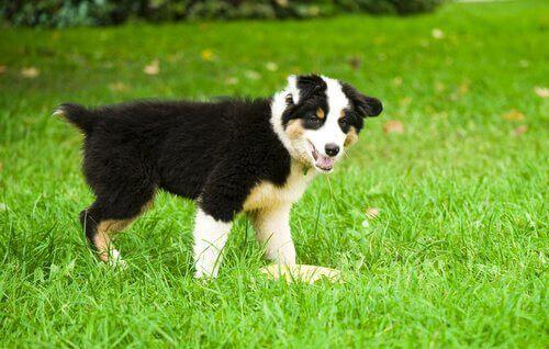 Hvorfor hunden din har gul avføring