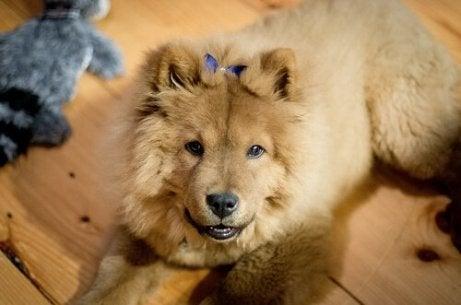 En søt Chow Chow-hund som poserer for kameraet