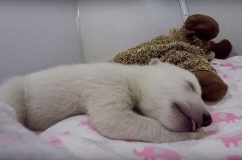 Møt den søteste isbjørnen på sosiale medier!