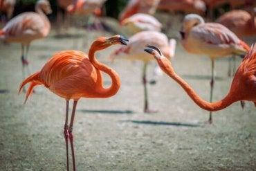 Flamingoer som slåss