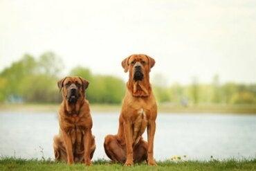 De åtte største hunderasene i hele verden