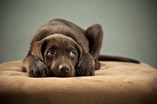 En hund på en seng som ser redd ut.