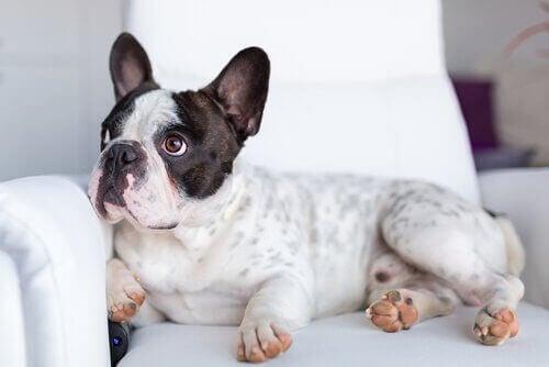 En hund som ligger på sofaen og ser på noe.
