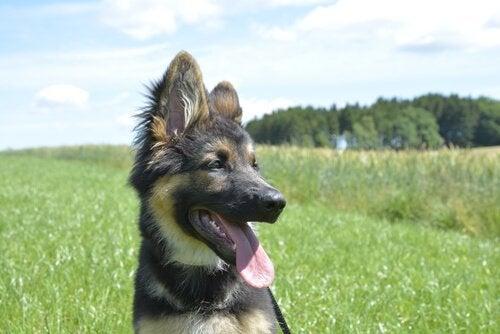 En lykkelig hund på en åker.