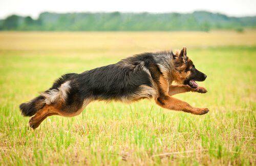 En shæferhund som hopper på en åker.