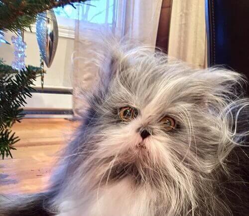 Det kan være vanskelig å se om Atchoum er en katt eller hund, men han er en perserkatt.