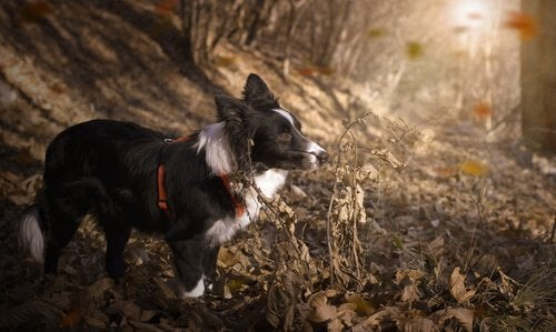 10 av de mest atletiske hunderasene i verden