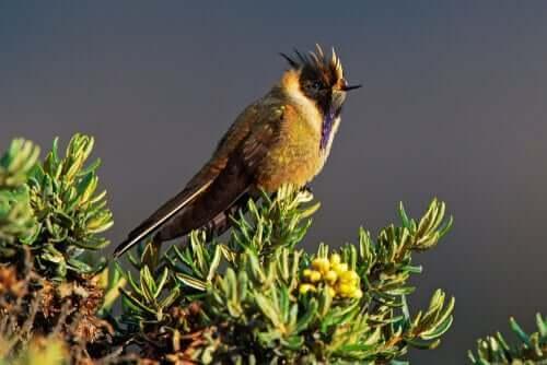 Blå kolibri.