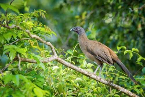 Llanoshokko er en fugl som trives i tropene