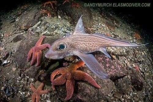 Dypvannsfisken helhodefisk