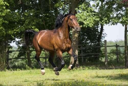Opprinnelsen til hesterasen maremmahest
