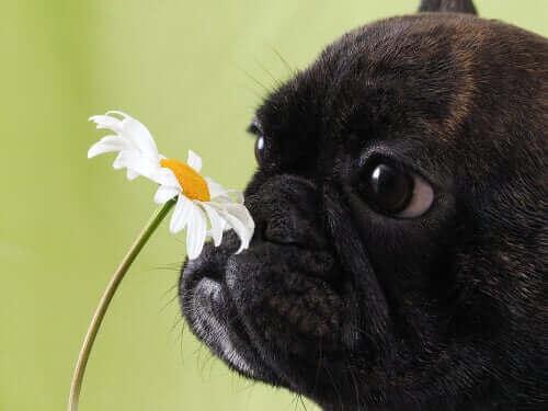 En svart mops som lukter på en blomst