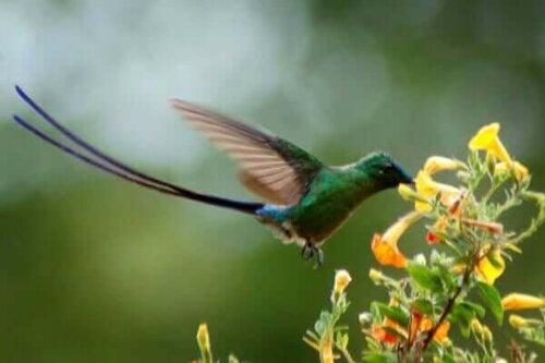 Kolibri i Clumbia.