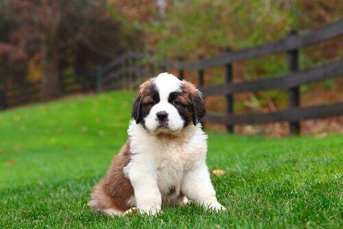 To viktige komponenter i et sunt kosthold for hunder
