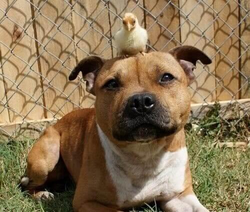 En pitbull med en kylling på hodet