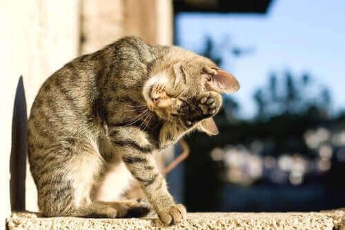 En katt som vasker seg