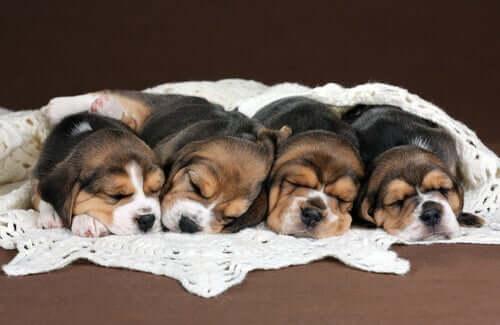 Et kull med sovende beaglevalper