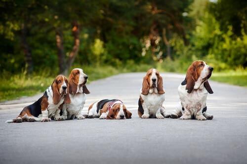 5 Basset hounder