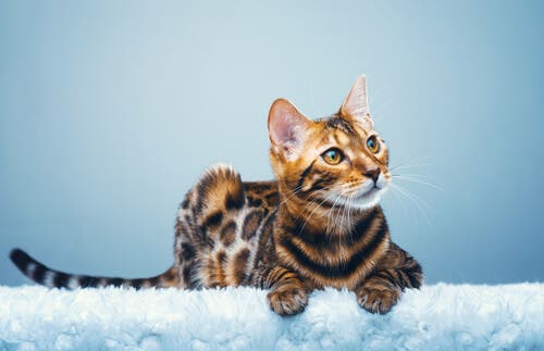 Bengalkatten har en slående, flekkete pels