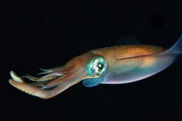 En blekksprut