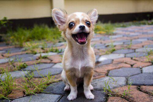 En chihuahua-hund som smiler mot kameraet