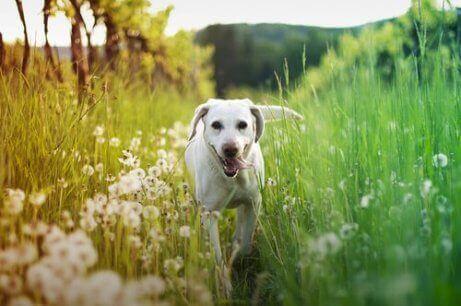 En hund som løper gjennom langt gress og blomster