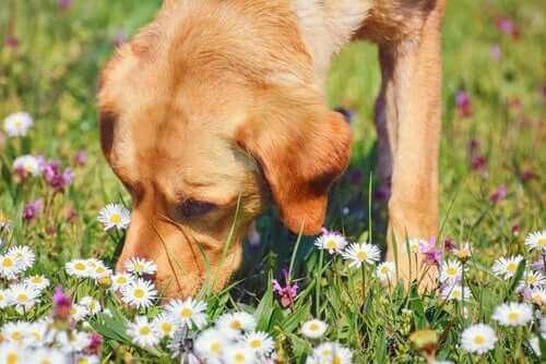 Kamille og dens medisinske egenskaper for kjæledyr