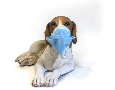 En hund som bruker maske for å forhindre spredningen av influensa blant kjæledyr