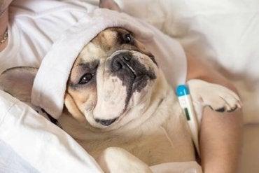 En hund med termometer og håndkle på hodet