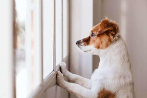 Hvorfor slikker hunden min på veggen?