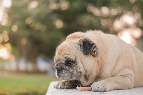 Hvorfor spiser hunder mindre om sommeren?