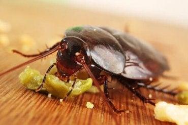 En kakerlakk som spiser litt mat