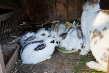 En gruppe babykaniner sammen med moren sin